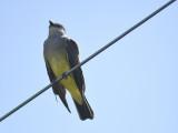 western kingbird BRD4005.JPG