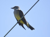 western kingbird BRD4002.JPG