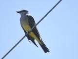 western kingbird BRD4000.JPG