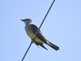 western kingbird BRD3998.JPG