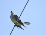 western kingbird BRD3996.JPG