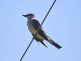western kingbird BRD3994.JPG