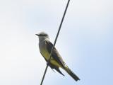 western kingbird BRD3990.JPG