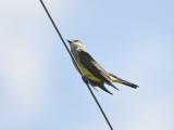 western kingbird BRD3984.JPG