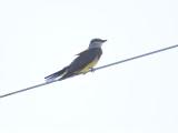 western kingbird BRD3976.JPG