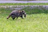 3F8A7371_Raccoon.jpg