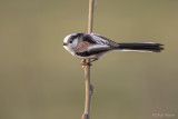 Staartmees/Long-tailed tit