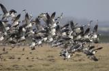 Brandgans/Barnacle goose