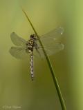 Venwitsnuitlibel/Leucorrhinia dubia ♀