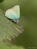Groentje/Callophrys rubi