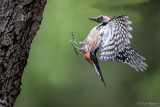 Middelste bonte specht/Middle spotted woodpecker