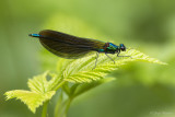 Bosbeekjuffer/Calopteryx virgo ♂