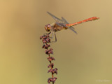 Zuidelijke heidelibel/Sympetrum meridionale ♂