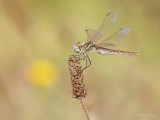 Zwervende heidelibel/Sympetrum fonscolombii ♀