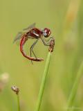 Zwervende heidelibel/Sympetrum fonscolombii ♂