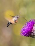 Kolibrievlinder/Macroglossum stellatarum