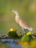 Ralreiger/Squacco heron