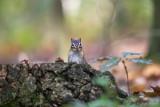 Siberische grondeekhoorn/Tamias sibiricus