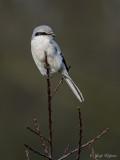 Klapekster/Great grey shrike