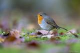Roodborst/Robin