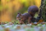 Eekhoorn/Squirrel