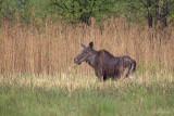 Eland/Elk