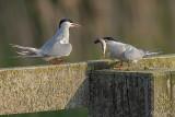 Visdiefje/Common tern