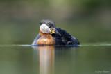 Roodhalsfuut/Red-necked grebe