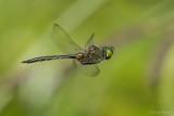 Gevlekte glanslibel/Somatochlora flavomaculata ♂