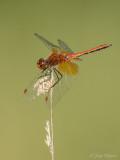 Geelvlekheidelibel/Sympetrum flaveolum ♂