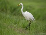 Grote zilverreiger/Great white heron