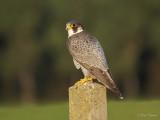 Slechtvalk/Peregrine Falcon
