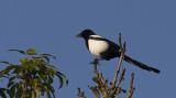 Danis Crows and Starlings