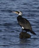 Danish Grebs and Cormorants