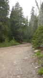 Alaska Yellow Cedar