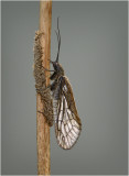Alder Fly Laying Eggs