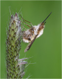 Bee Fly on Meadow Foxtail