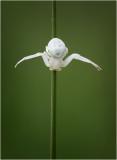 White Crab Spider