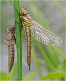 Hairy Dragonfly and exuvia.