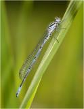 Azure Damselfly (male)