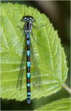 Variable Damselfly 'blue form' female.