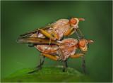 Mating Dung Flies,  Norellisoma spinimanum