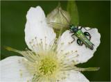 Thick-legged Flower Beetle (male)