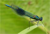 Banded Demoiselle (male)
