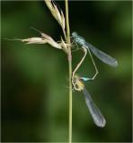 Blue-tailed Damselflies