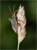 Red-legged Shieldbug