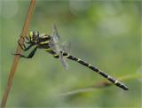 Golden-ringed dragonfly (female)