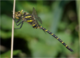 Golden-ringed dragonfly with wasp