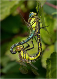 Hairy Dragonflies