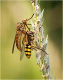 Daggerfly and prey